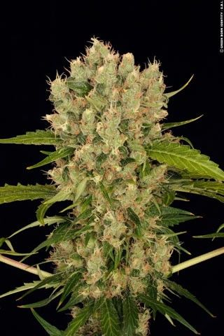Kushage Regular Seeds - 10 by the cannabis breeder T.H. Seeds, is a Photoperiod Regular marijuana strain. These seeds germinate in 9-10 Weeks in October/November.This Regular seed grows well in Greenhouse, Indoors conditions.This strain has S.A.G.E x OG Kush Genetics. It has a Unknown THC Content. The CBD content of the strain is Unknown.