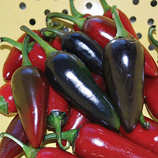 Hungarian Black Pepper. 100 - 2500 Scoville Units. Capsicum annuum. A rare & colorful hungarian heirloom chili. Unique, black-colored fruits that are the shape of a Jalapeño. They are mildly hot and have a delicious flavor. The tall plants have beautiful purple flowers that make this variety very ornamental. The pods are about the same size as a Jalapeño and ripen from very dark purple to red.
