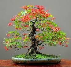 Resultado de imagen para bonsaiBonsai Ideas More Pins Like This At FOSTERGINGER @ Pinterest