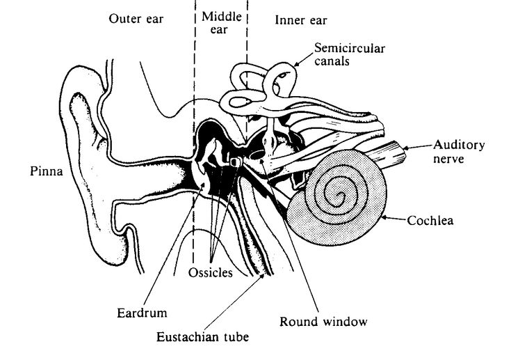 best 25  inner ear anatomy ideas on pinterest