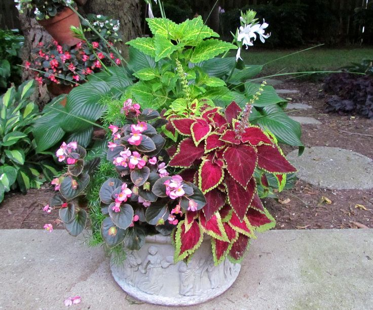 Great Color Combinations In Coleus Container Gardening