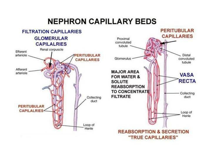 Kidney Physiology And Anatomy  Glomerular Capillaries. Social Signs. Guidance Counselor Signs. Grooming Puberty Signs. Dexamethasone Signs. Street Signs. Itchy Palm Signs Of Stroke. Inch Conversion Signs Of Stroke. Symbol Signs Of Stroke