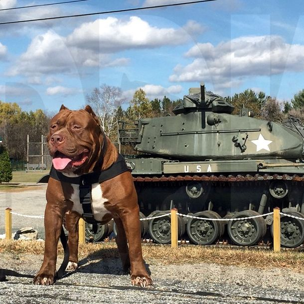 Best Hulk The Pit Bull Images On Pinterest Dogs Dads And Nature - Meet hulk possibly worlds biggest pitbull still growing