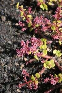 Flor del árbol de la Abundancia. - Desde finales de primavera a verano produce flores diminutas, estrelladas, de color rosa 1,tilido, dispuestas en pequeños ramilletes.