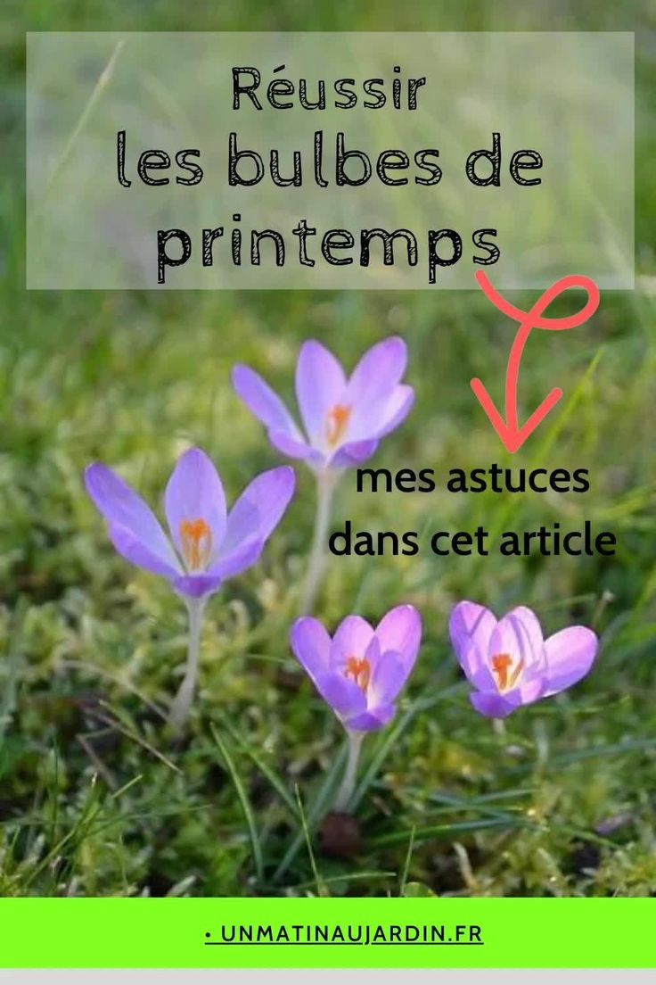 Planter des bulbes de printemps tulipes, crocus, iris