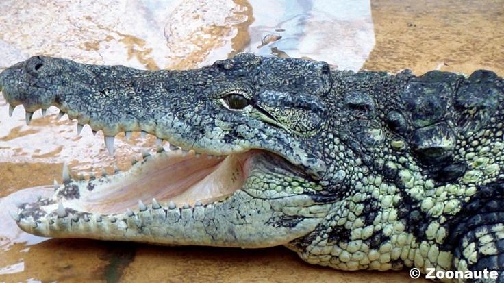 Crocodile du Nil - Alligator Bay (from Galerie photo Zoonaute)
