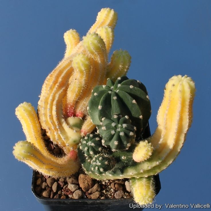 Creating a Cactus Chimera's; Mutations, Crested, Variegated and Lots Of Other Stuff - The Ethnobotanical Garden - Shroomery Message Board