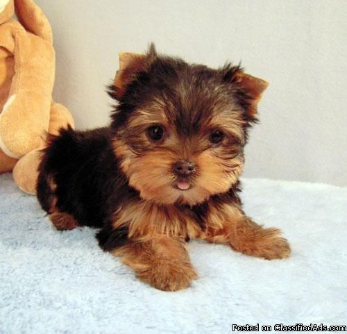 25+ best ideas about Teacup Yorkie - 36.3KB