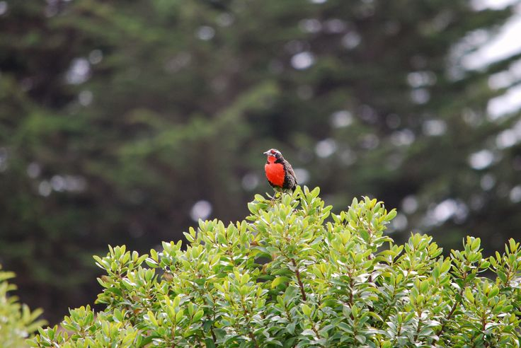 Name: Loica / Punta de Lobos · Pichilemu · Chile / Photo renzobraccesi©