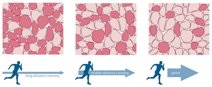 Local Muscular Endurance - Fibre Type, slow twitch fibres are suited to endurance activities, the greater percentage of fast-twitch fibres in the muscle, the greater that muscular fatigue. In contrast the greater distribution of slow-twitch fibres in the muscle, the lower the levels of muscular fatigue.