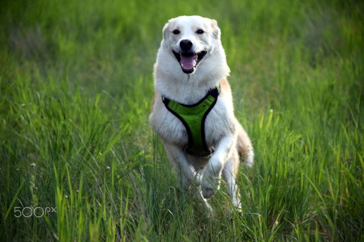 Happy Shiba on the run - Beautiful Shiba