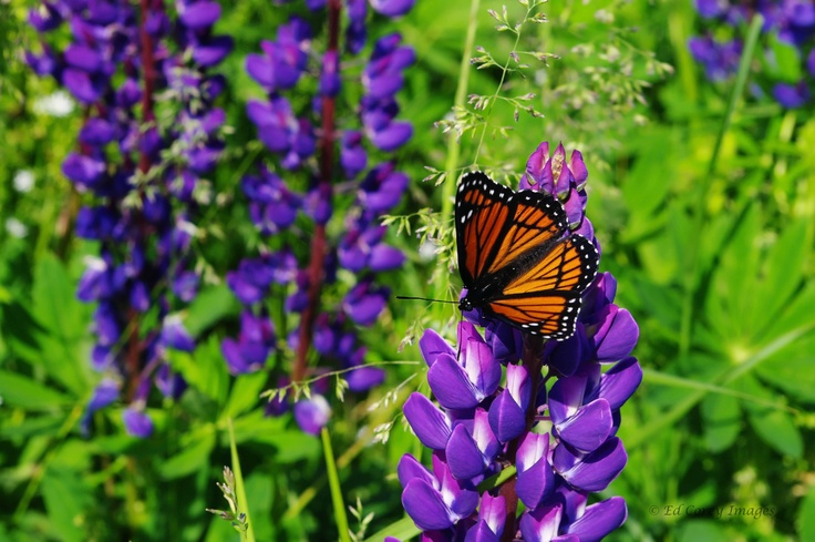Monarch Butterfly on lupin