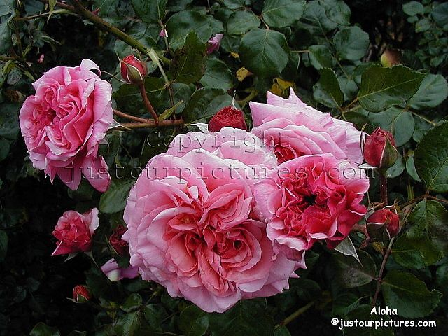 99 best images about roses my garden on pinterest plant identification syllabub and shrubs. Black Bedroom Furniture Sets. Home Design Ideas