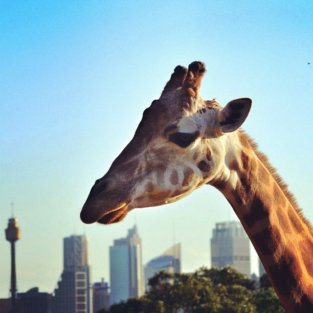 Giraffe at Taronga Zoo, Sydney.. #Australia   by paulyvella (instagram)