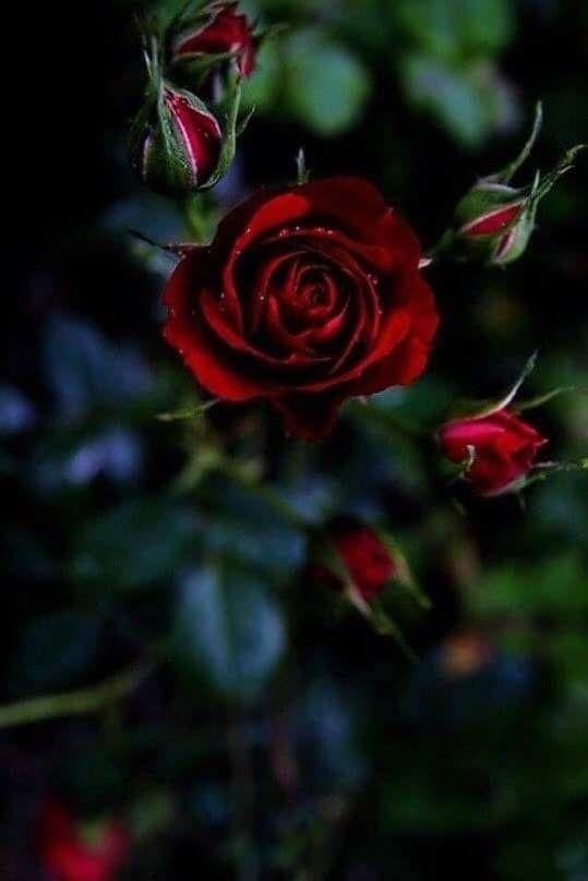 I M Definitely Into Roses Rose Flower Wallpaper Flower Wallpaper Rose Wallpaper