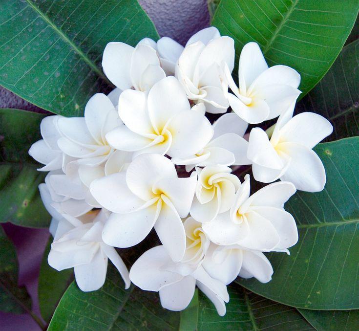 Plumeria+White+'Samoan+Fluff'+Frangipani++5+Seeds