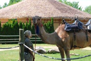 Stanley the camel at the Granby Zoo, Quebec