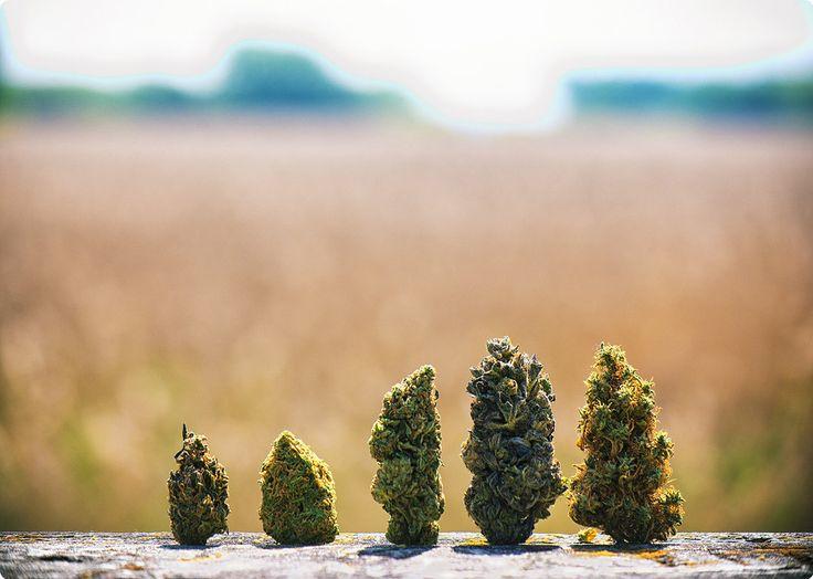 Uses, Benefits and Side Effects of Cannabis Indica, Sativa and Hybrid strains! #allbud #marijuana #cannabis #weed #strains #news #hybrid #sativa #indica #marijuananews #legalizemarijuana #use #smoke #enjoy #life