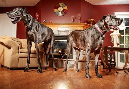 Zeus the tallest male and Morgan the tallest female Guinness Record holders