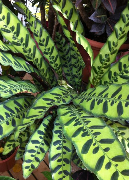 Calathea lancifolia / Lejardindeclaire