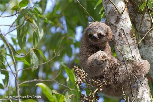 Bicho-preguiça: A preguiça é um mamífero sem dentes que vive pendurado nas árvores brasileiras. Elas têm um rosto pequeno e parecem que estão sempre sorrindo. As preguiças só comem uma coisa: folhas de embaúba, uma árvore que por isso ficou conhecida como árvore-da-preguiça. Esses bichos são assim preguiçosos por causa do calor. Como eles têm o corpo coberto de pêlos grossos, não podem se agitar muito porque senão suam para valer.