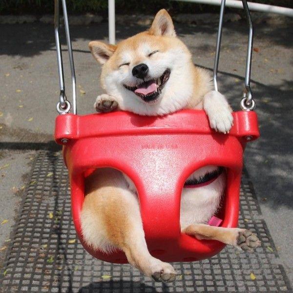 Счастливая собака породы сиба-ину стала новым героем Сети Собака, герой, интернет, Фото, прикол, длиннопост