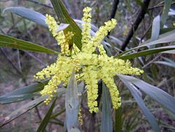 Bush Tucker Plant Foods - Acacia - Wattles