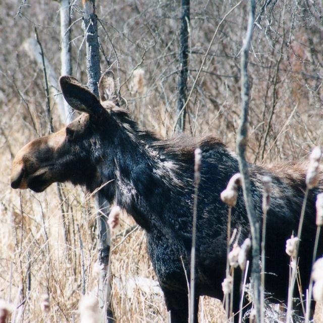 Moose, Algonquin Provincial Park.