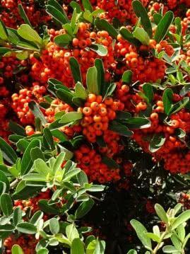 ognik szkarłatny owoce fot. Bishnu Sarangi - Pixabay.com
