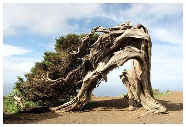 Árbol de la Sabina_Uno de los lugares de las Islas Canarias, llamado El Hierro, nos permite ver este árbol nombrado La Sabina, aunque parezca mentira, la forma de esta especie se debe a los fuertes vientos que azotan el lugar.
