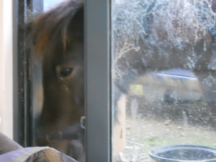 Miniature Horse Shadia trying to come inside our lounge