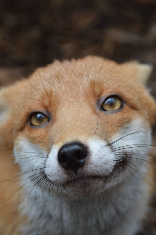Pudding the Red Fox   National Fox Welfare Society