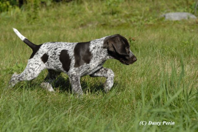 German Short-haired Pointer. I want one!