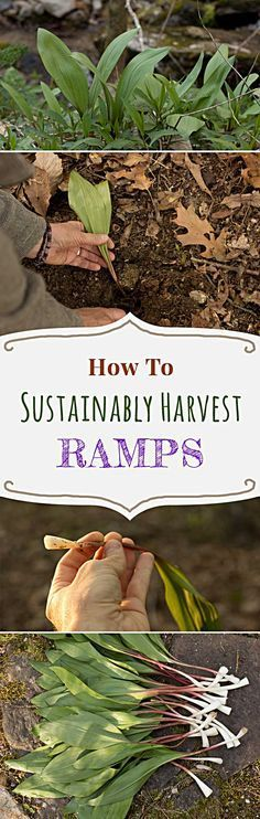 Where to find and how to sustainably forage, cook, preserve, and store ramps or wild ramps. Includes a recipe for making ramp compound butter. www.wildedible.com/