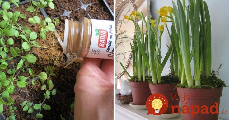 Škorica – korenina užitočná najmä pre zdravie! Urýchľuje látkovú výmenu, má antiseptický účinok a navyše vynikajúco vonia. To všetko sú známe fakty, málokto však tuší, že škorica je aj vynikajúcim hnojivom a stimulátorom rastu.