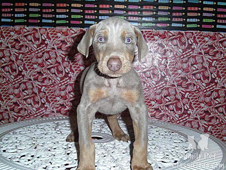 Blue Doberman Pinscher Puppies Pictures