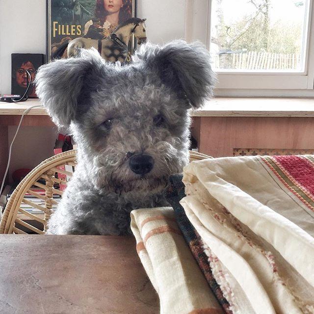 Pumi A New Dog Breed That Looks Like A Koala Pumi Dog Dog