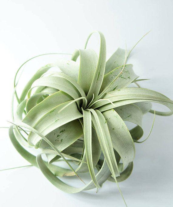 Xerographica  trendy green airplant for terrarium indoor live