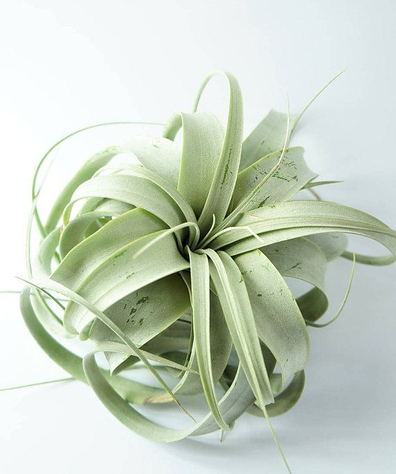 Xerographica  trendy green airplant for terrarium indoor live