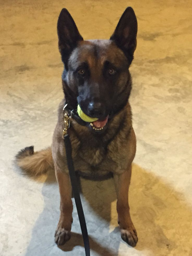 Malinois male titled KNPV PH1. Social friendly dog will be a fantastic addition to any home.