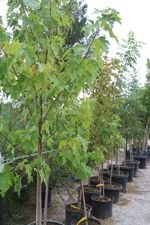 Nice pecan trees, fruit trees, shade trees and shrubs for sale at Natura Greenhouse and Garden Center
