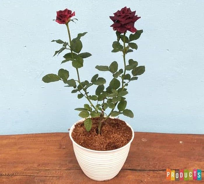 Foto Bunga Mawar Di Pot Mawar Merah Abra Hitam Ukuran Besar Cara Pemupukan Bunga Mawar Dalam Pot Teknik Menanam Bunga Mawar Bunga Bunga Sutra Menanam Bunga