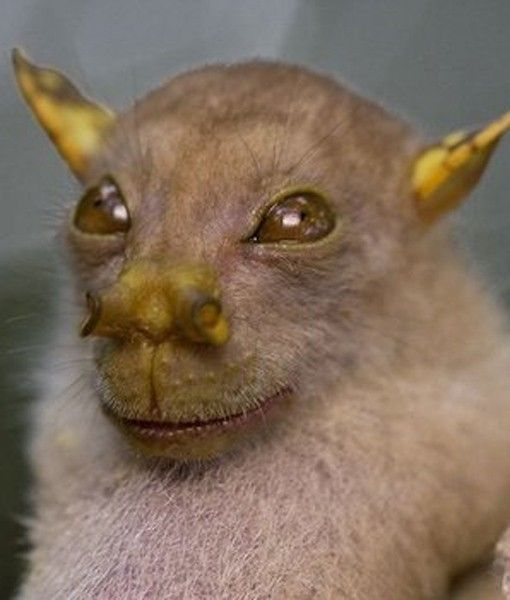 Yoda Bat, a tube-nose bat from the rainforests of Papua New Guinea.