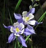 Originaria dos Estados Unidos, a Columbina Azul cresce no alto das Montanhas Rochosas, no estado do Colorado, próximo à cidade de Columbine, cujo nome deriva do da planta. Esta linda é uma recompensa visual para aqueles que se dispõem a escalar as grandes montanhas da região. (Nome científico: Aquilegia Caerulea James.)