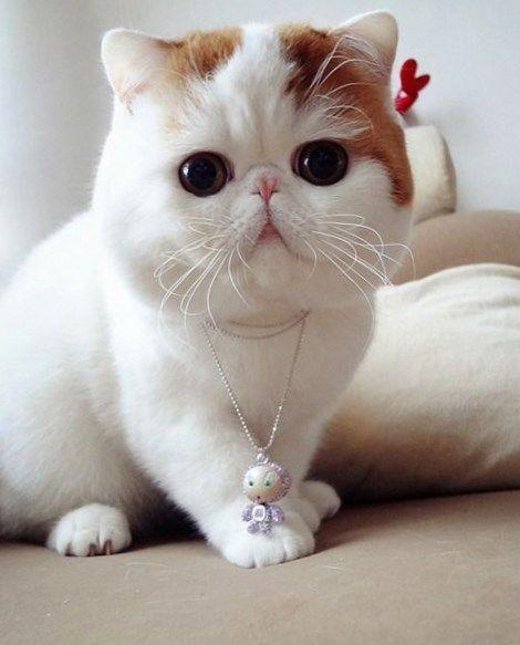 Cortes de pelo para gatos persas