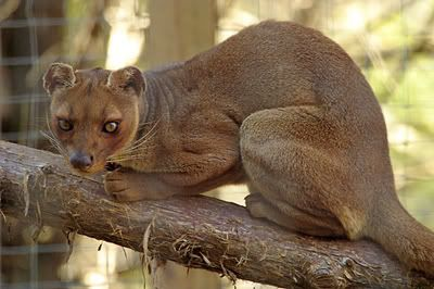 The Fossa, Madagascar: Cat like adaptations, but unrelated to cats (Convergent Evolution). Closely related to the Mongoose.