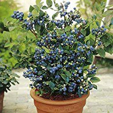 Grow In a Blueberry Bush Container. – Dan330
