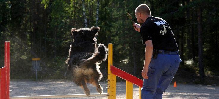 Avaimet hyvään luottamussuhteeseen koiran ja omistajan välillä ovat tutkitusti kärsivällisyys, leikkimielisyys sekä palkkioon perustuvat koulutusmenetelmät. Koiran palkkaaminen toivotusta käyttäytymisestä edistää koiran hyvinvointia, oppimista ja tasapainoista suhdetta omistajaansa, todetaan useissa tutkimuksissa (1). Palkkioon perustuva koulutus on ollut jo pitkään laajalti suosittua koiranomistajien ja -kouluttajien keskuudessa (2): yli 75 % koiranomistajista käyttää jonkinlaista…