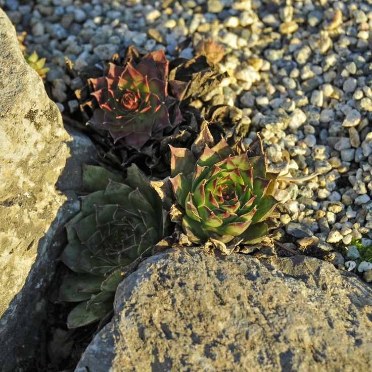 Succulents are always adorable, especially when they are part of an alpine garden.