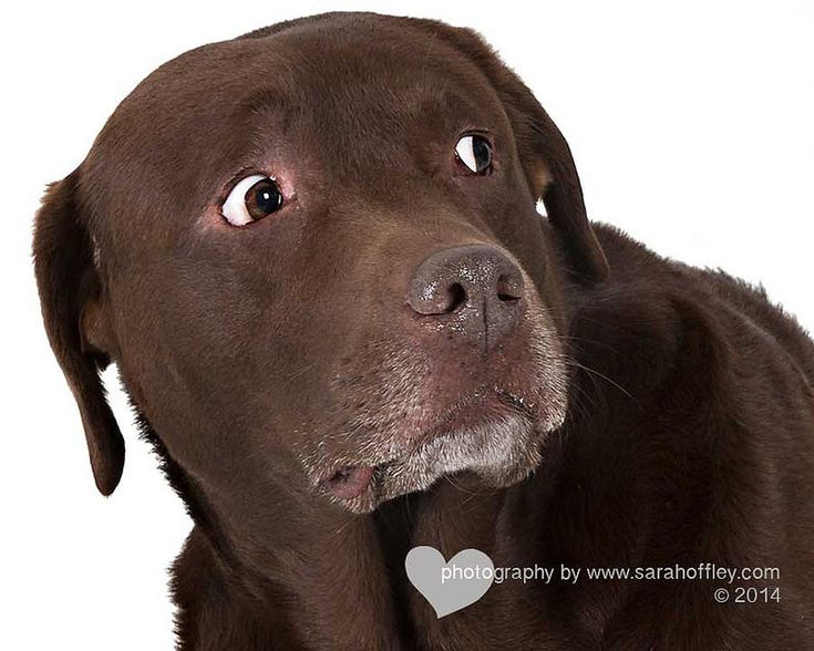 Best 20+ Chocolate Labrador Funny Ideas On Pinterest